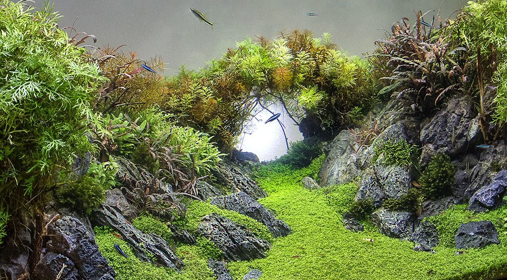 L'hemianthus est une parfaite plante gazonnante pour un aquarium d'aquascaping (réalisation Emmanuel Bultel)