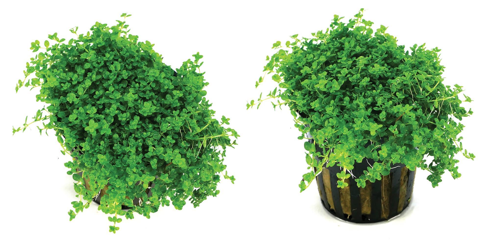 Hemianthus callitrichoides cuba Premium