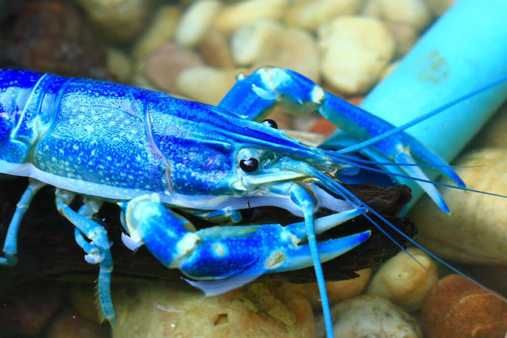 cherax super blue